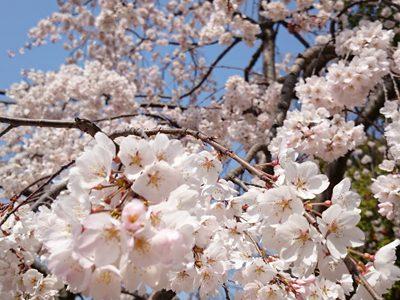 【BGM素材 優しい】春は来る