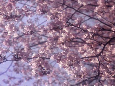 桜 feat.オオヒ